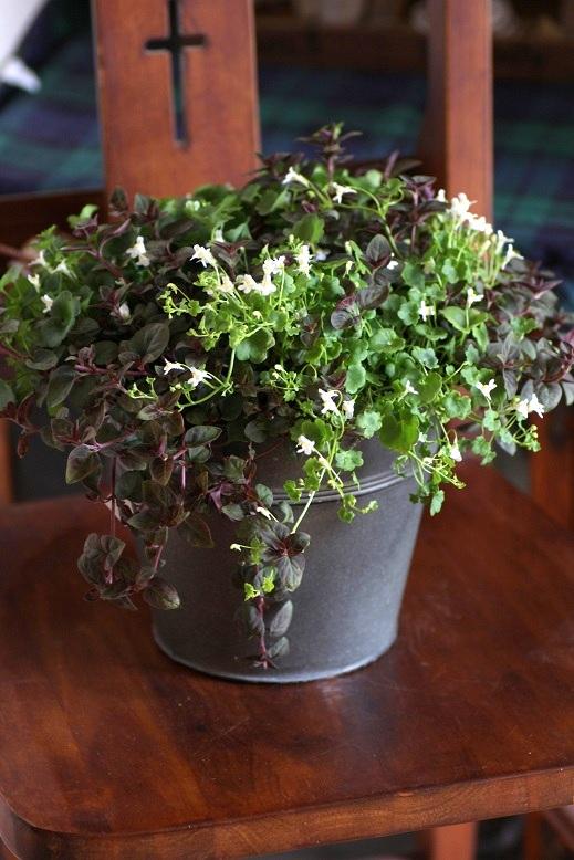 画像4: 春の寄せ植え『シンバラリア&リシマキア』