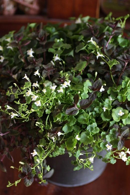 画像3: 春の寄せ植え『シンバラリア&リシマキア』