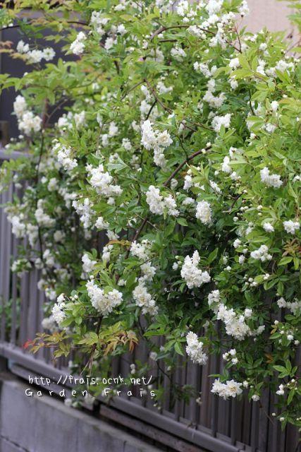 画像1: 八重咲きモッコウバラ『ホワイト』 *6号大株*