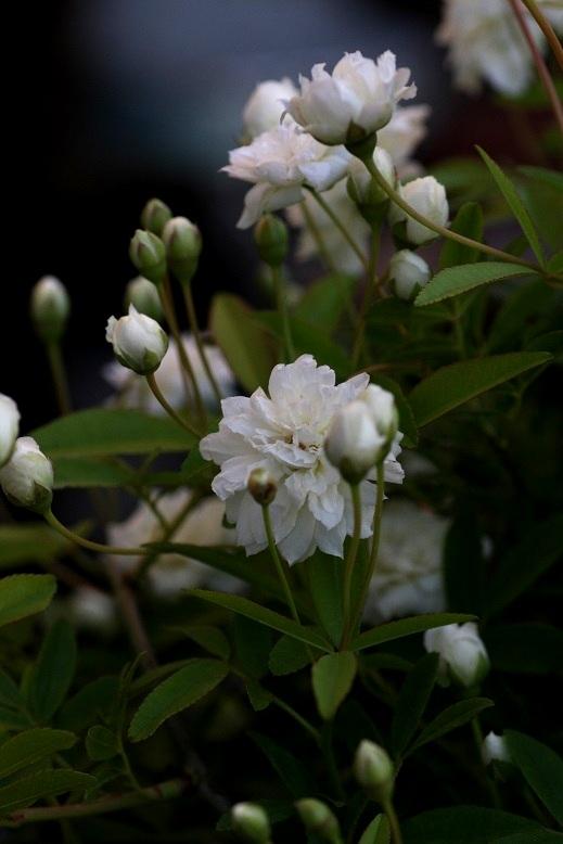 画像2: 八重咲きモッコウバラ『ホワイト』 *6号大株*