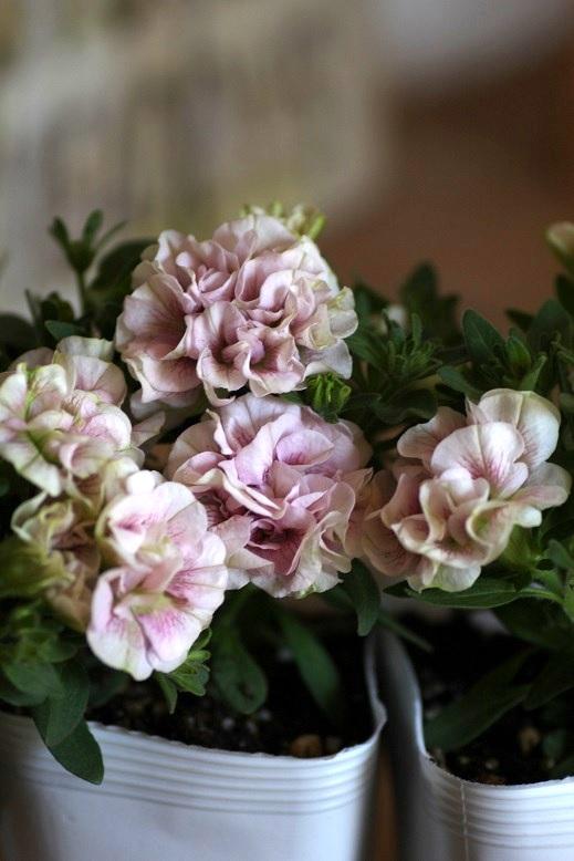 画像3: 八重咲きペチュニア『フェアリーブーケ』
