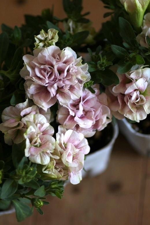 画像1: 八重咲きペチュニア『フェアリーブーケ』