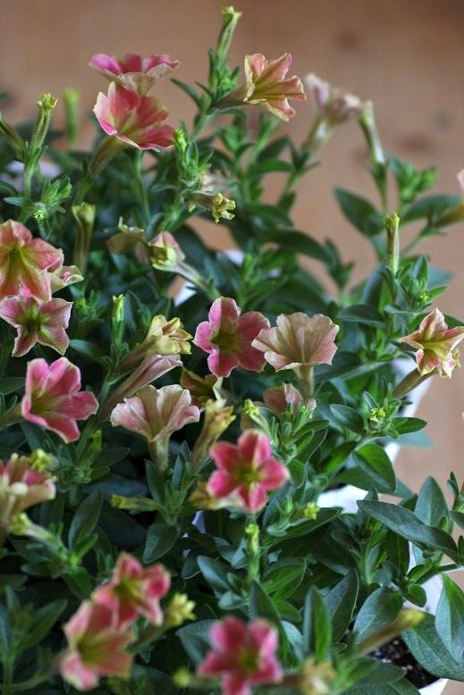 画像3: 小輪ペチュニア アリスの森『カナリアディーバ』