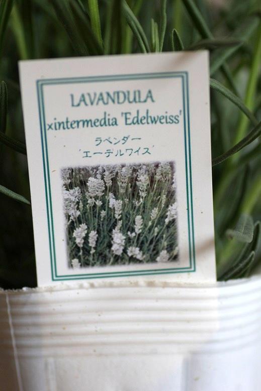 画像2: 白花ラベンダー『エーデルワイス』